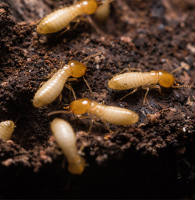 Termite Control Wesley Chapel FL, Greater Tampa Bay | Pest Cemetery - pc3